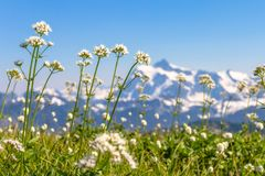 Flachschuss von weißen Wildflowers mit Berg Shuksan hinten, WA Stockbilder