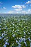 Flachsfeld, blühender Flachs, landwirtschaftliche Bearbeitung des Flachses stockbilder