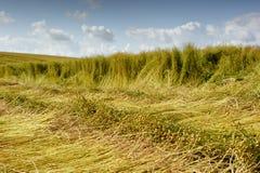 Flachsfeld während der Ernte Stockfotografie