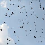 Flack de los pájaros de los cuervos imagen de archivo