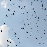 Flack of ravens birds. Flack of many birds common ravens soaring high in blue sky in autumn season on natural background outdoor, square picture Stock Image