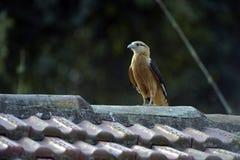 Flacon przewodzący caracara na dachu Fotografia Stock