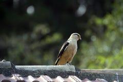 Flacon przewodzący caracara na dachu Zdjęcie Royalty Free