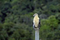 Flacon yellow-headed caracara Stock Photography