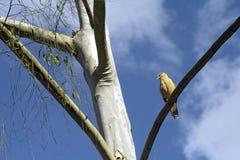 Flacon yellow-headed caracara Stock Photos