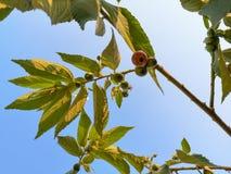 Flacourtia rukam liście na niebie zdjęcia stock