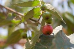 Flacourtia rukam tree. Flacourtia rukam or red-colored Takhop, The ripen fruits of Flacourtia inermis tree specie . Malayan Cherry or Flacourtia rukam royalty free stock photography