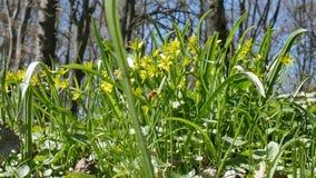 Fladdrar lösa blommor för vår i obetydlig vind mot den blåa himlen, bin flyger bakom långsam rörelse stock video
