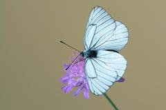 Fladrujący biały motyli aporii crataegi na kwiacie Zdjęcia Stock