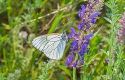 Fladrujący Biały motyli obsiadanie na dzikiej mędrzec Zdjęcie Royalty Free