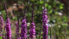 Fladrujący biali motyle karmi na purpurowym loosestrife kwitną podczas wietrznego słonecznego dnia w Lipu, Scotland zbiory