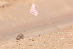 Flag bearer. Burrowing Owl appearing to bear a flag Stock Images