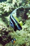 Flag fish. A Heniochus acuminatus Royalty Free Stock Photos