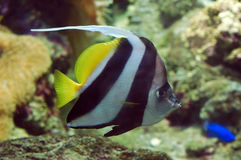 Flag fish II. A heniochus acuminatus Stock Photography