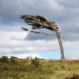 Flag Tree. Tree formed by continuous strong wind Stock Photo