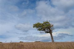 Flag tree shaped by the wind in patagonia Stock Photography