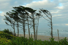 Flag trees, Oregon coast. Oregon coast, flag trees showing prevailing wind Stock Photo