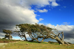 Flaggaträd i Terra del Fuego Arkivbild