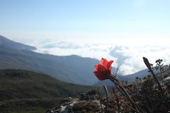 Flaggen-Spitze, Blume stockbilder