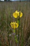 Flaggeniris auf Sumpfgebiet nahe Glenelg Lizenzfreie Stockbilder