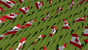 Flags of Canada in green field. stock video