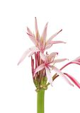 Flair open beautiful Giant spider lily flowers Royalty Free Stock Photo