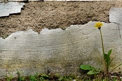 Flaked wall. A flaked wall with a lonely dandelion Royalty Free Stock Photos