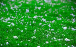 Flakes and balls of ice crystals on green grass after a hail storm appearing scenic in a shallow depth of field landscape image Stock Photography