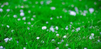 Flakes and balls of ice crystals on green grass after a hail storm appearing scenic in a shallow depth of field landscape image.  Royalty Free Stock Photography