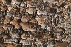 Flaking pine bark Royalty Free Stock Photos