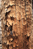 Flaking tree trunk Royalty Free Stock Image