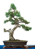Flaky juniper as bonsai tree. White isolated old flaky juniper (Juniperus squamata) as bonsai tree Royalty Free Stock Images