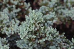 Flaky Juniper. Latin name - Juniperus squamata Prostrata Royalty Free Stock Images