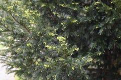 Juniperus squamata Holger. Flaky juniper with freshly spring needle Royalty Free Stock Image