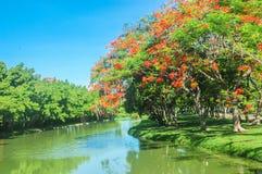 Flam boyant树在庭院里 免版税库存照片