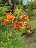 Flam-boyant, дерево пламени, королевское Poinciana стоковые изображения