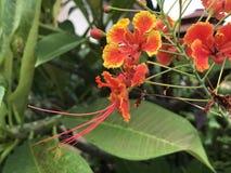 Flam-boyant или дерево пламени или королевский цветок Poinciana или павлина Стоковое Изображение