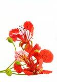 Flam-boyant blomma Arkivbild