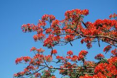 Flam boyant blommaträd arkivbilder