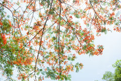 Flam-boyant, The Flame Tree, Royal Poinciana. Branch of The Flame Tree ,red tropical flower Royalty Free Stock Photos