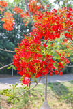 Flam-boyant, The Flame Tree, Royal Poinciana flowers. Royalty Free Stock Photo