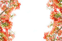 Flam-boyant flower as frame border and copy space for text back Royalty Free Stock Images