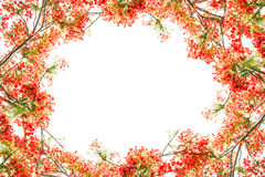 Flam-boyant flower as frame border and copy space for text back Stock Photography