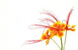 Flam-boyant flower Royalty Free Stock Photos