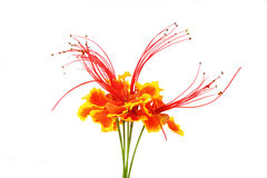 Flam-boyant flower Stock Images