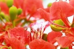 Flam-boyant flower Stock Image