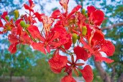 Flam-boyant kwiat Fotografia Royalty Free