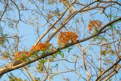 Flam-boyant płomienia drzewo, Królewski Poinciana, okwitnięcie kwiat Obraz Royalty Free