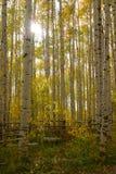 Flama de la lente de los álamos tembloses del otoño Imágenes de archivo libres de regalías
