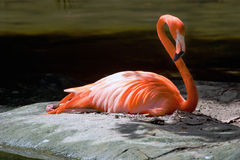 Flamant 7 Photographie stock